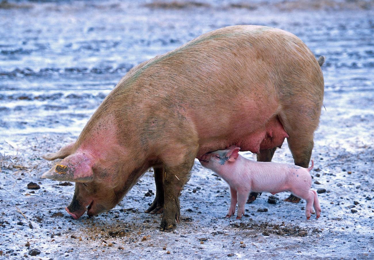 Detenido en Guijuelo el responsable de una explotación por falsificar la pureza de más de 1.400 cerdos