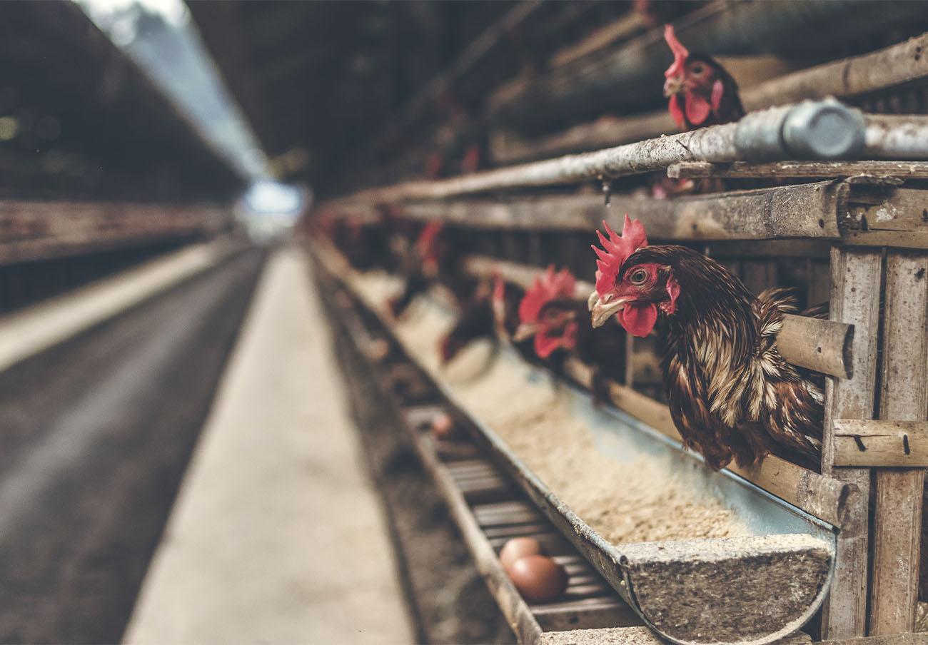 Japón sacrificará a 330.000 pollos tras detectar un brote de gripe aviar