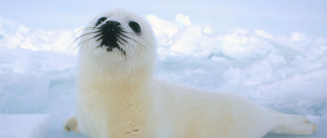 La UE pide prohibir el comercio de pieles de foca
