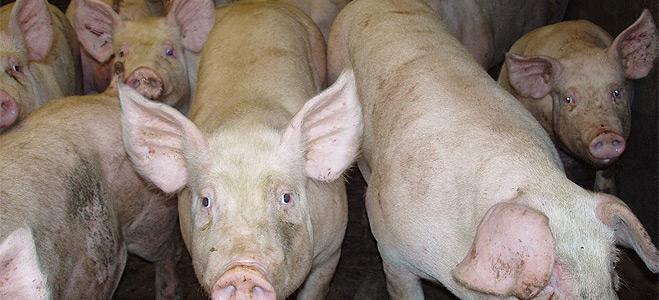 FACUA pide a Sanidad interlocución permanente ante los casos de gripe porcina en humanos